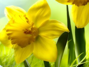 Daffodils PowerPoint Background