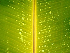 Banana Leaves for Powerpoint Background