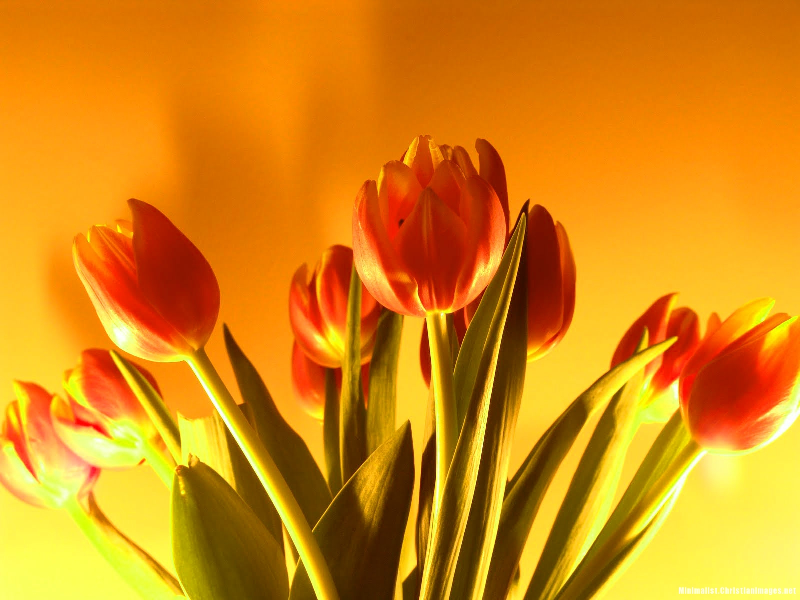 Orange Tulipe Background for Powerpooint