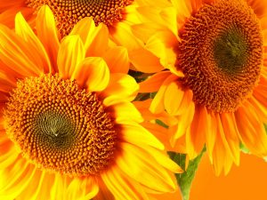 Sun Flower Powerpoint Background