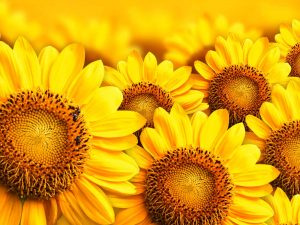 Super Awesome Sunflower Powerpoint Background